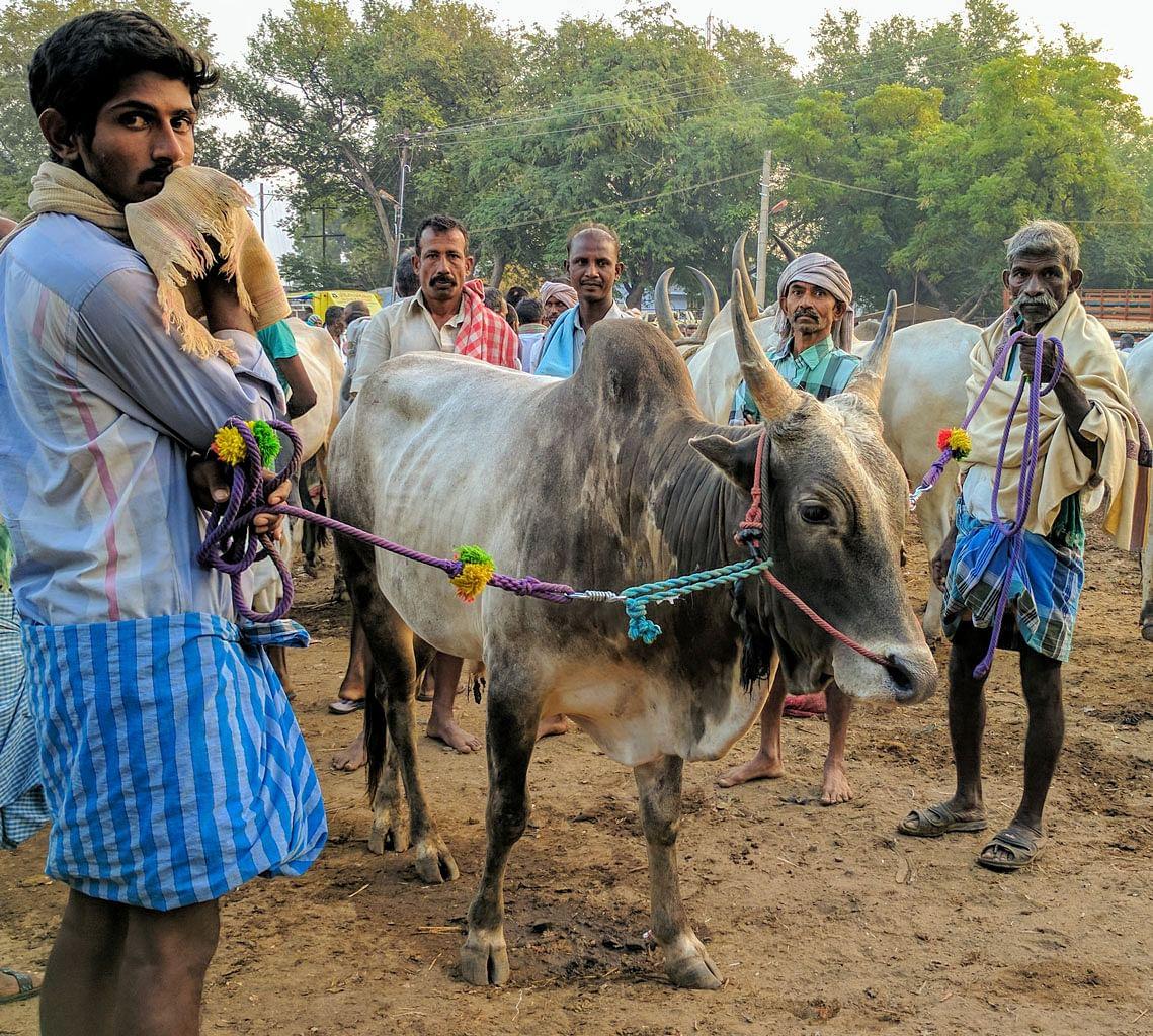 A Jallikattu bull, waiting to be sold for slaughter. (Photo: Vikram Venkateswaran/<b>The Quint</b>)