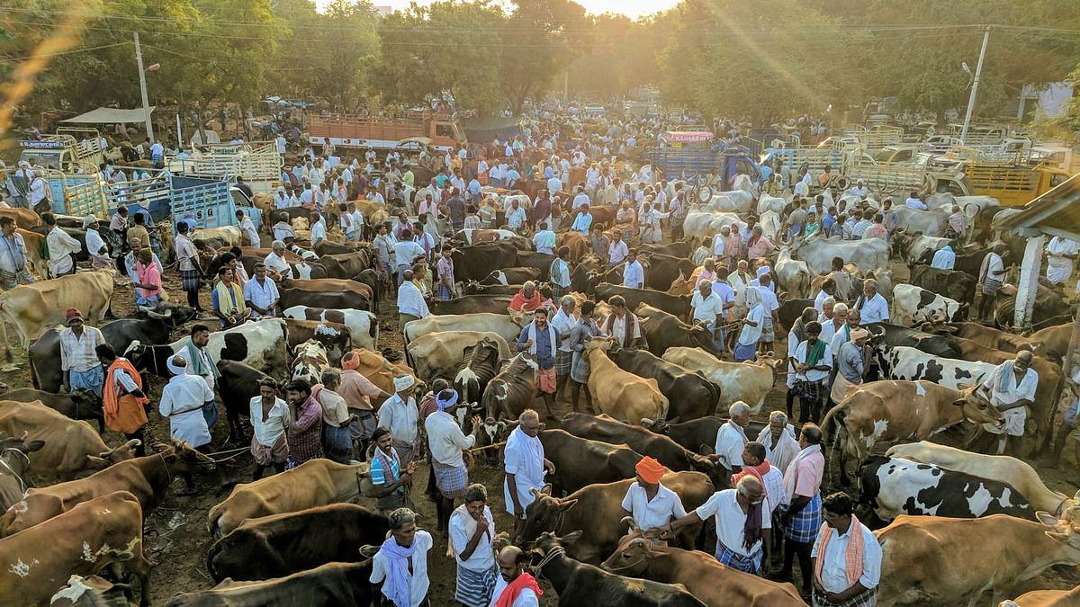 A weekly cattle market in Vadipatti, a few miles off Madurai. (Photo: Vikram Venkateswaran)