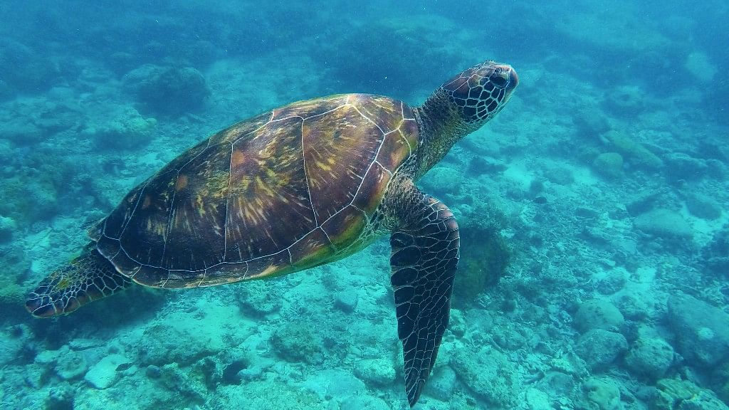 On World Sea Turtle Day, WWF has called upon the EU nations to enact measures that can help in conserving turtles. (Photo: iStock)