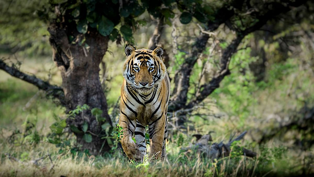Of India's roughly 2,200 tigers, most would never pose a threat to humans.
