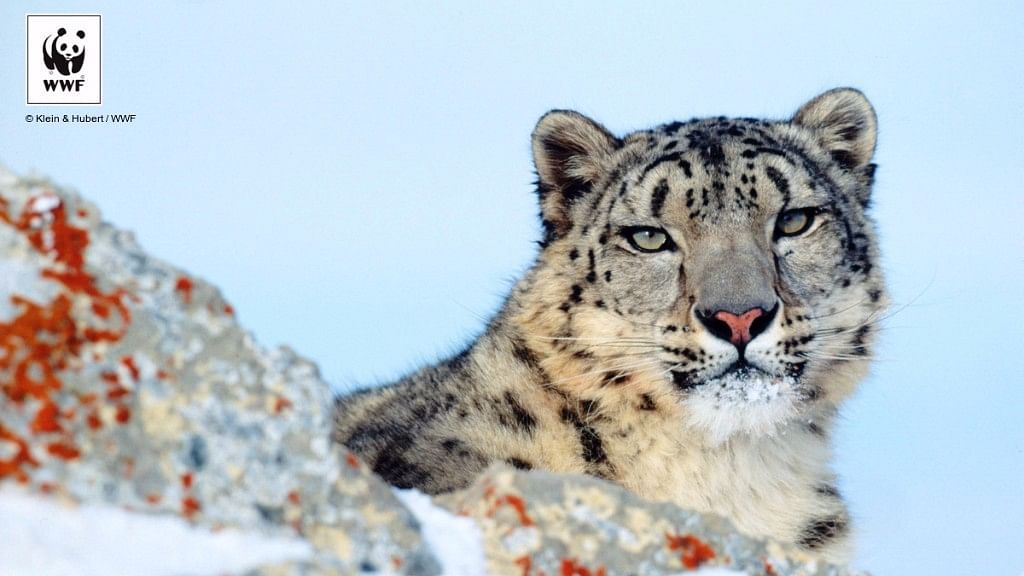 Photographing the Elusive Snow Leopard In the Towering Himalayas