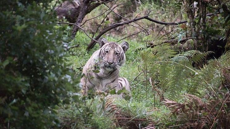The tiger spotted by Nilanjan Ray was pale but not quite white.