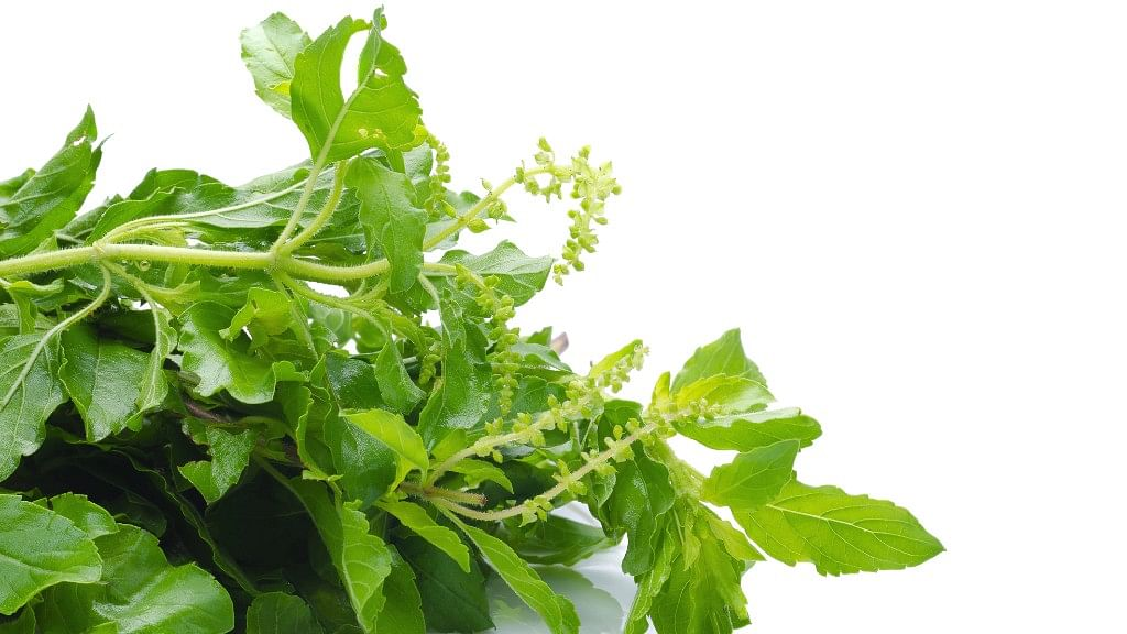 Tulsi – The Wonder Herb You Need, And Not Just in Your Angan
