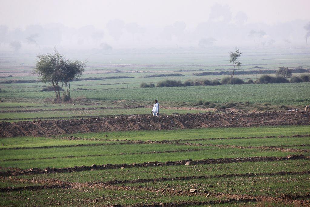 Pakistan's paddy fields.