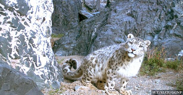 A picture of a snow leopard from Gobi Gurvansaikhan National Park, South Gobi, Mongolia.