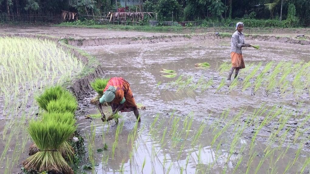 Women work in paddy fields in Assam after monsoon flood waters have abated.
