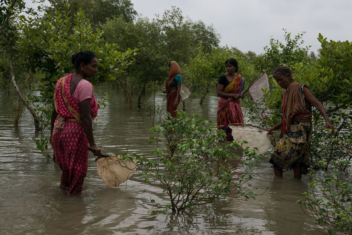 A team of women who have lost their husbands to tiger attacks in India's Sundarbans region hunt for crabs in a dense Sundarbans mangrove forest.