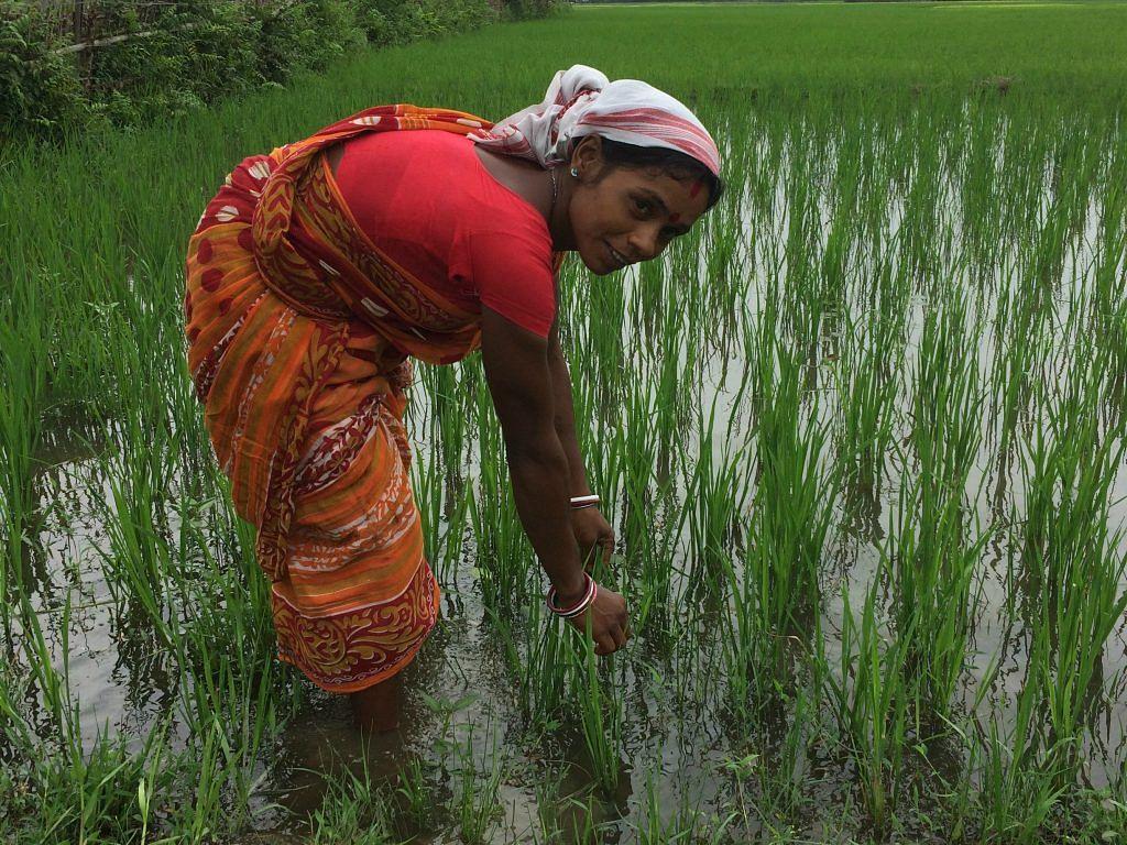 Subhadra Kumari plants rice saplings in her field.