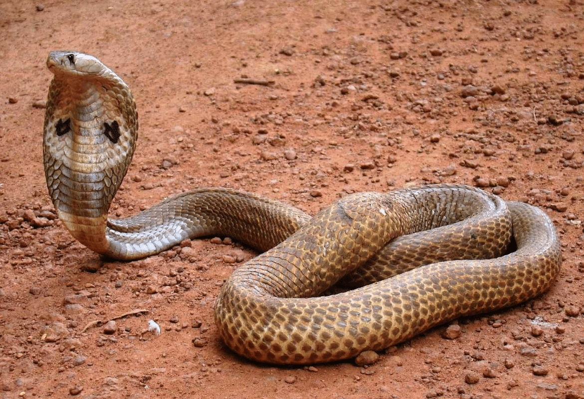 A cobra scares residents of Andheri. Image used for representational purposes only.