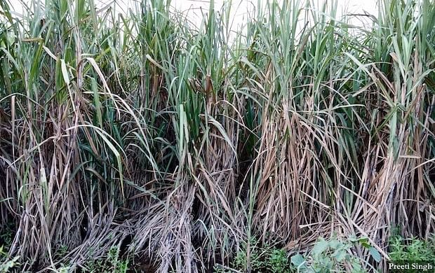 Standing sugarcane crop destroyed due to floodwaters in Pashchim Champaran.