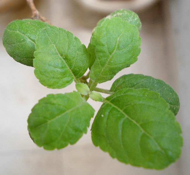 Tulsi is believed to be the best natural remedy for colds.