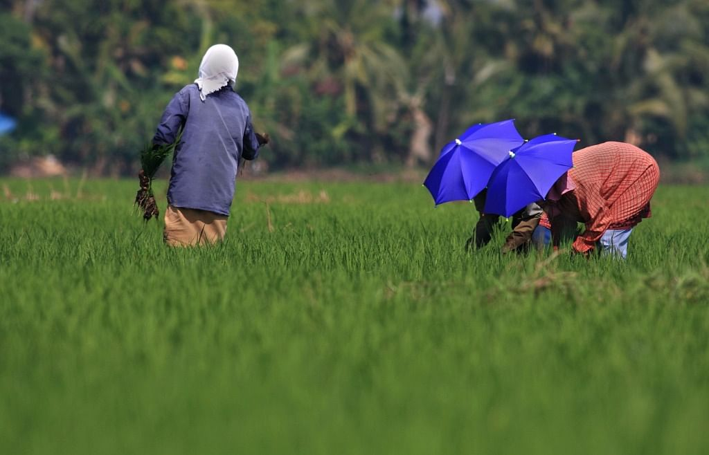 Farmers working in the paddy field.