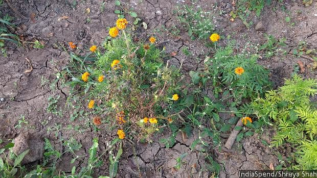 A diseased marigold plant in Keshu Singh Patel's farm. This year, a part of his crop was spoilt because of disease.