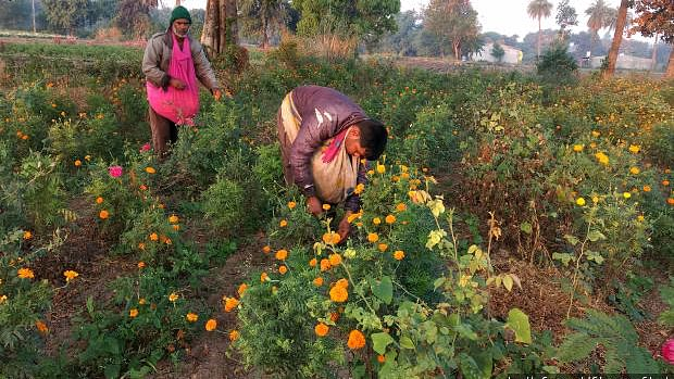 Keshu Patel and his son Kantilal pluck marigold flowers in his field in Mirjapur, Madhya Pradesh. Post <em>notebandi</em>, the unpredictability of getting cash, which he needs for all his transactions – groceries, payment to labourers, transporters – has left him anxious.