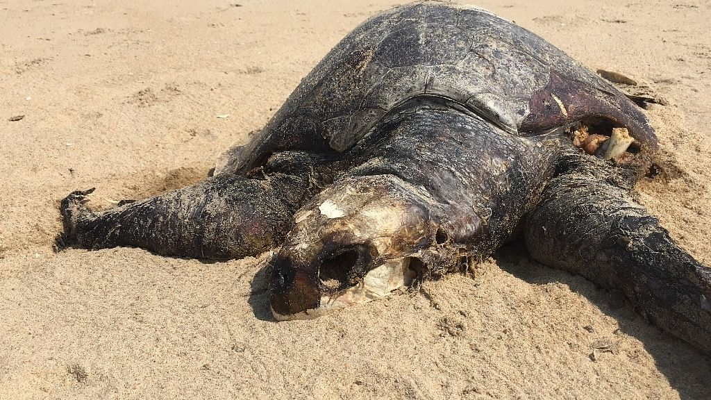 The endangered giant Olive Ridley turtle that was found on Friday in the Marina beach had suffered a fatal head injury and her hind flipper was missing indicating she was hit by a trawler.