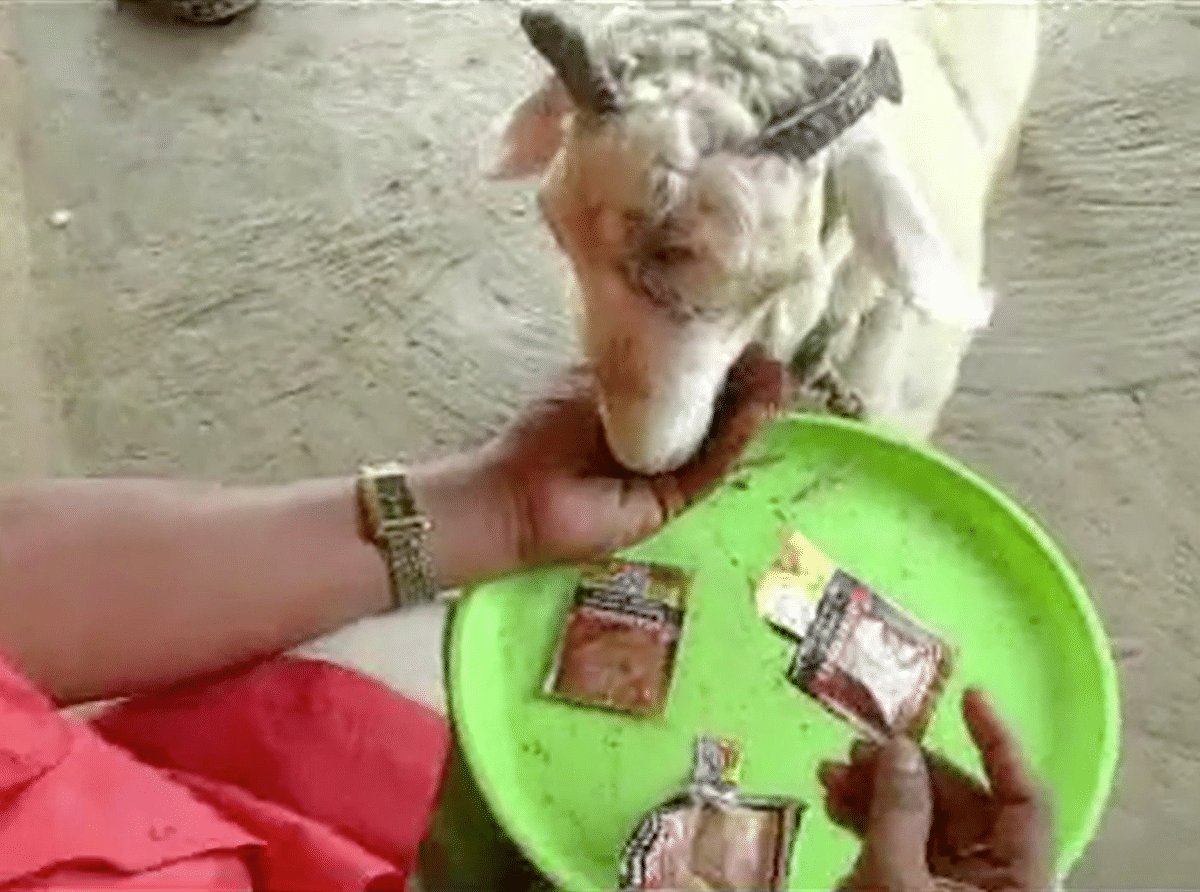 Sheep chewing tobacco