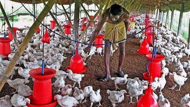 Bird Flu Scare in Bengaluru After Chicken Dies of H5N1 Virus