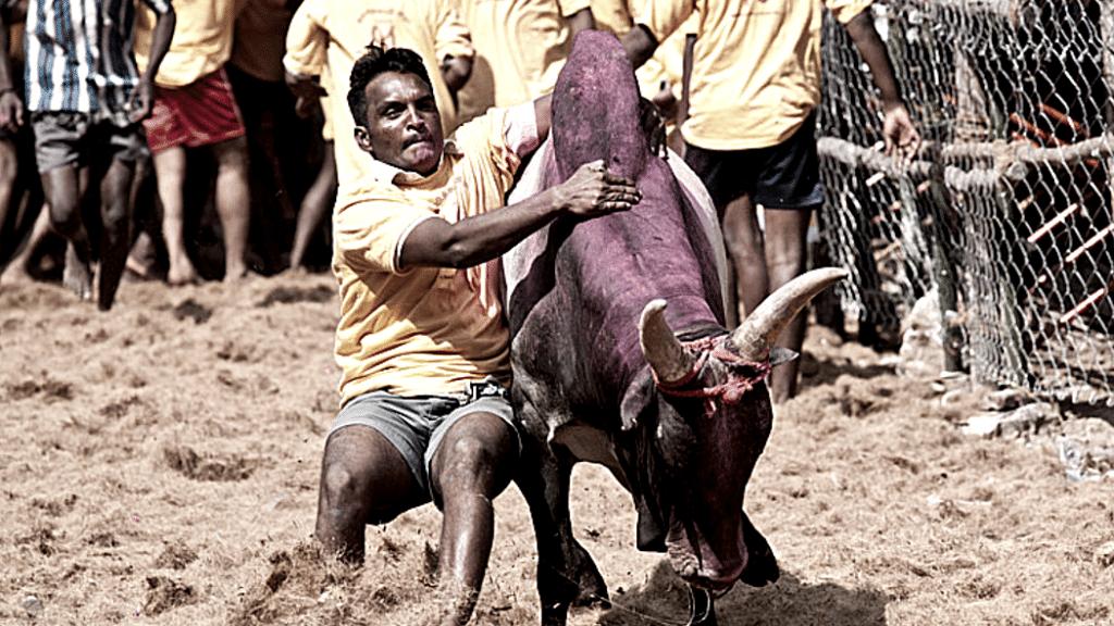 A man participating in the traditional Jallikattu festival of Tamil Nadu.