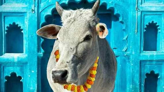 Cow Should Be National Animal & Its Protection a Fundamental Right of Hindus: HC
