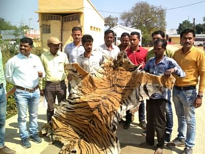 The tiger skin is about 11 feet long and 8.2 feet without tail, three feet in width.