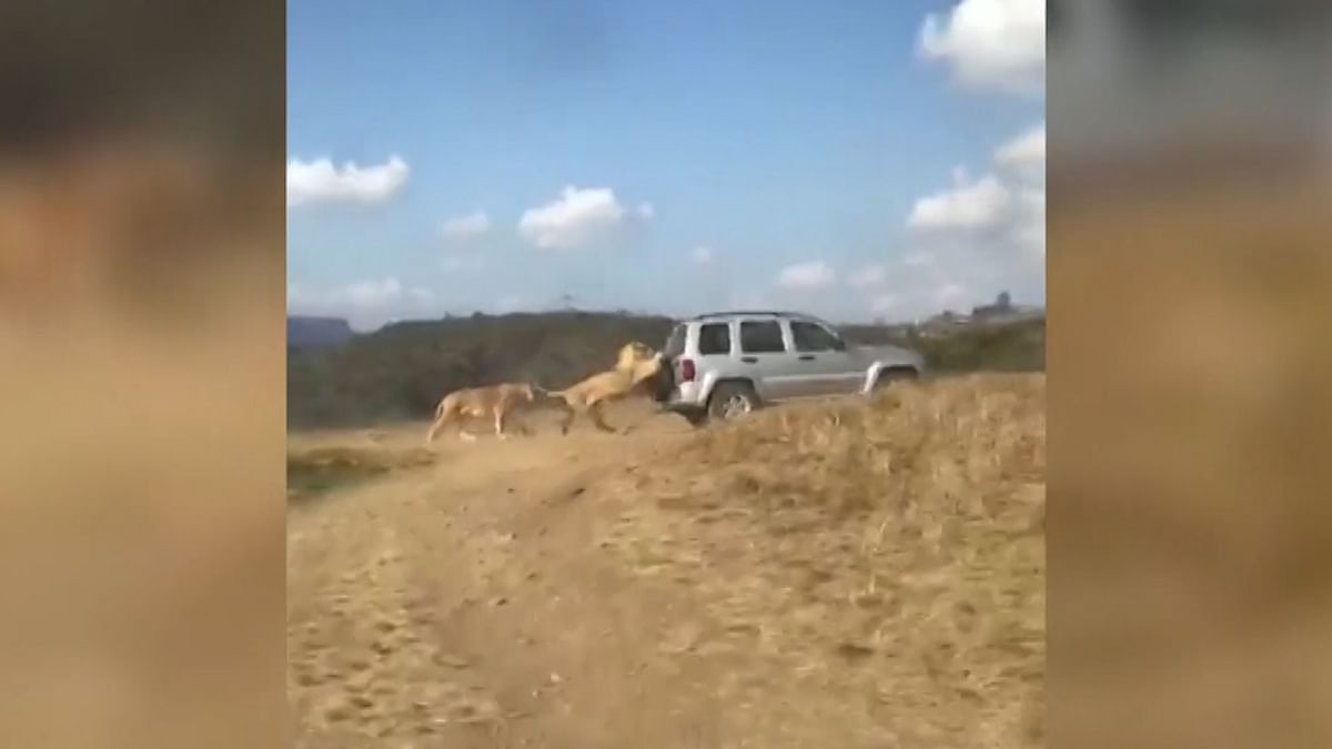 Three Lions Give SUV a Rough Ride at South African Wildlife Park