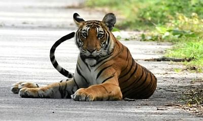 Only 13% of world's tiger conservation areas meet standards: Report