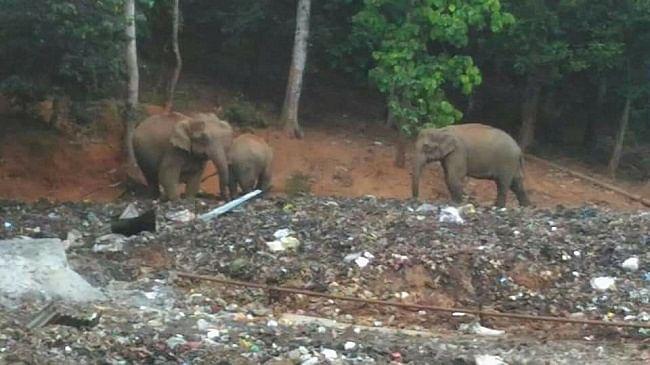 Elephants eating plastic.