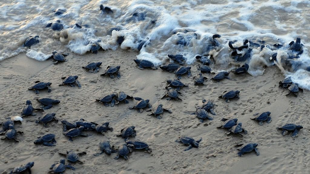 Sea turtle hatchlings make their way to sea at Rushikulya beach beach in Odisha.