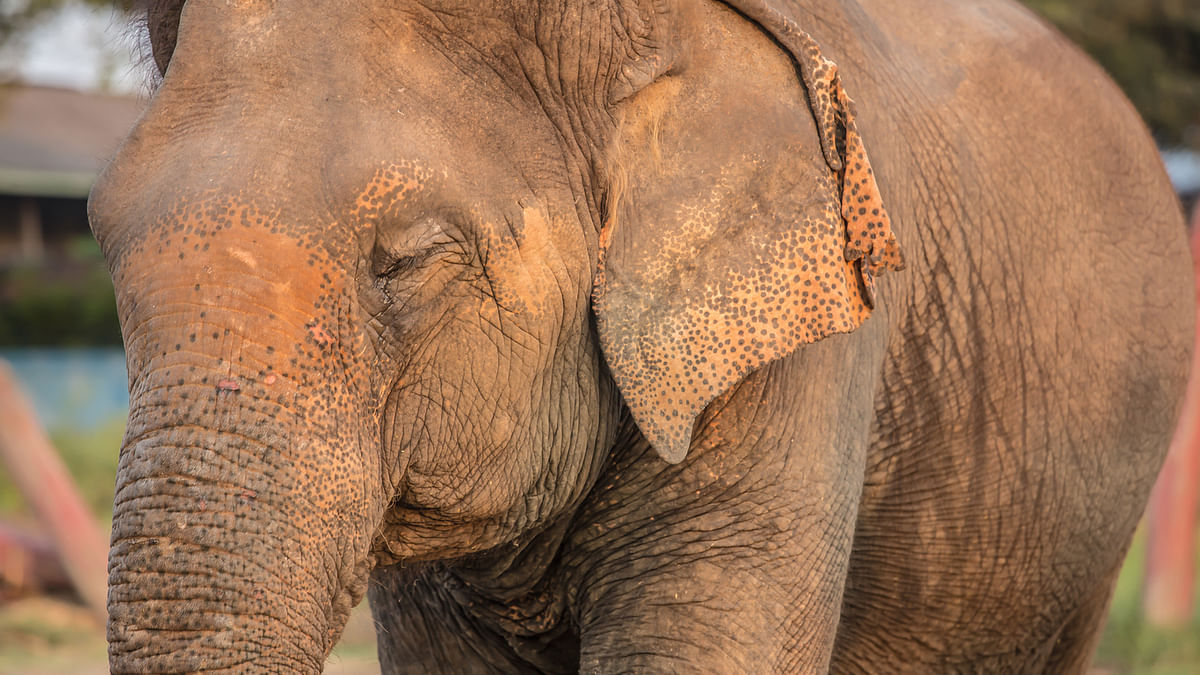 The population of Asian Elephant is declining steadily.
