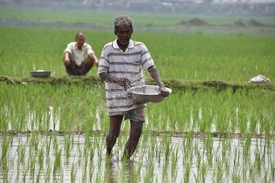 Roja Mayong: A farmer sprinkles fertilizer over the paddy crops at a field in Assam