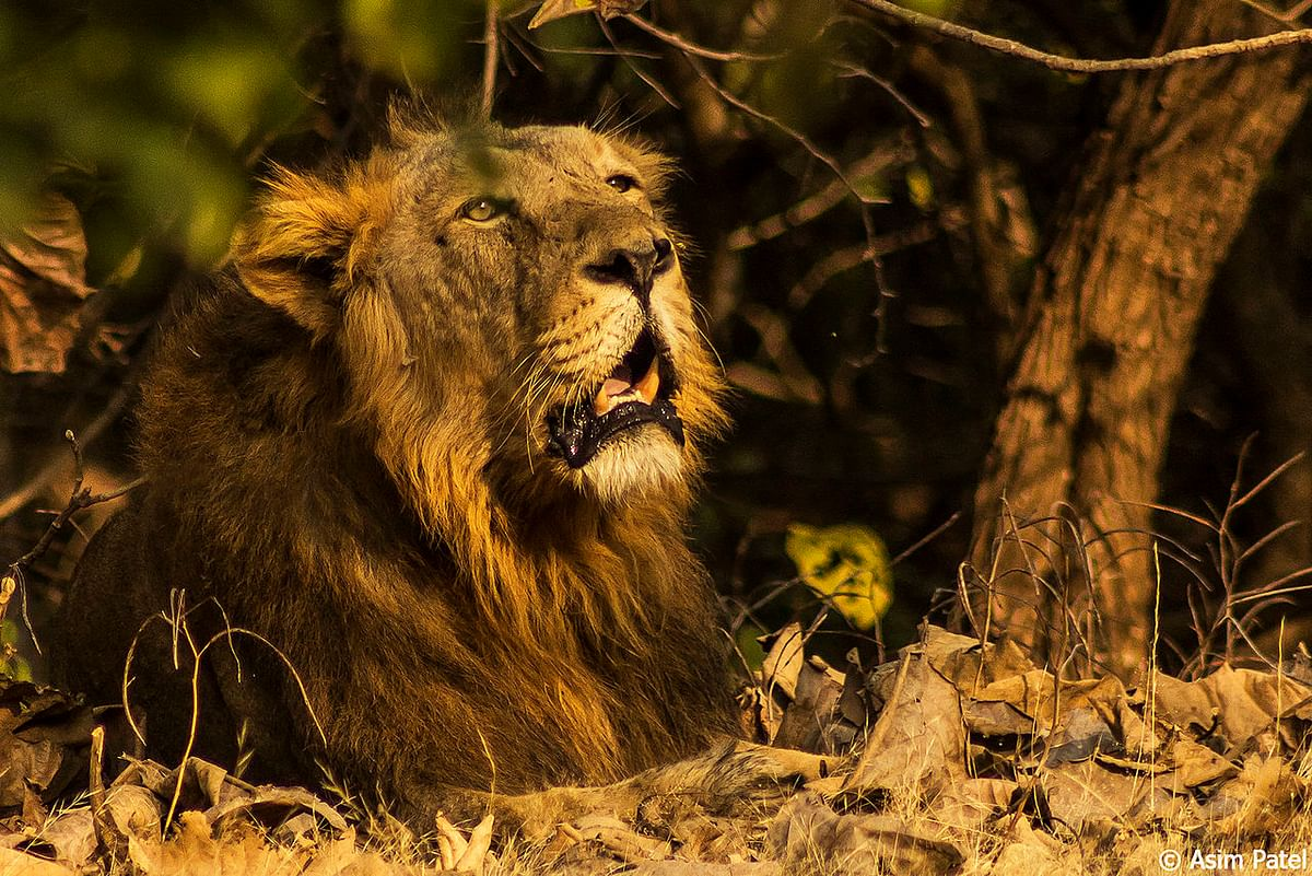 Gir Lion resting in the shade.
