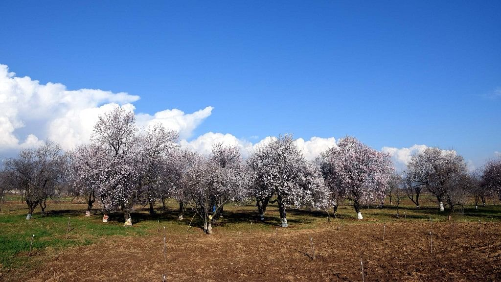 An almond field in Pulwama.