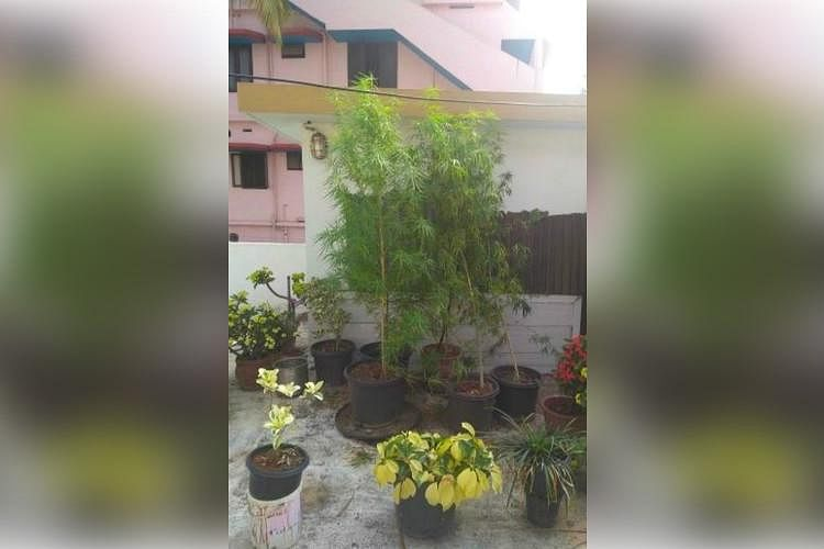 Kerala Woman Arrested for Growing 6-Ft Tall Ganja Plant on Rooftop
