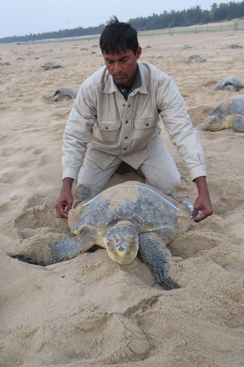 Odisha's 'Turtle Man's' Efforts Help Rare Olive Ridley Breed