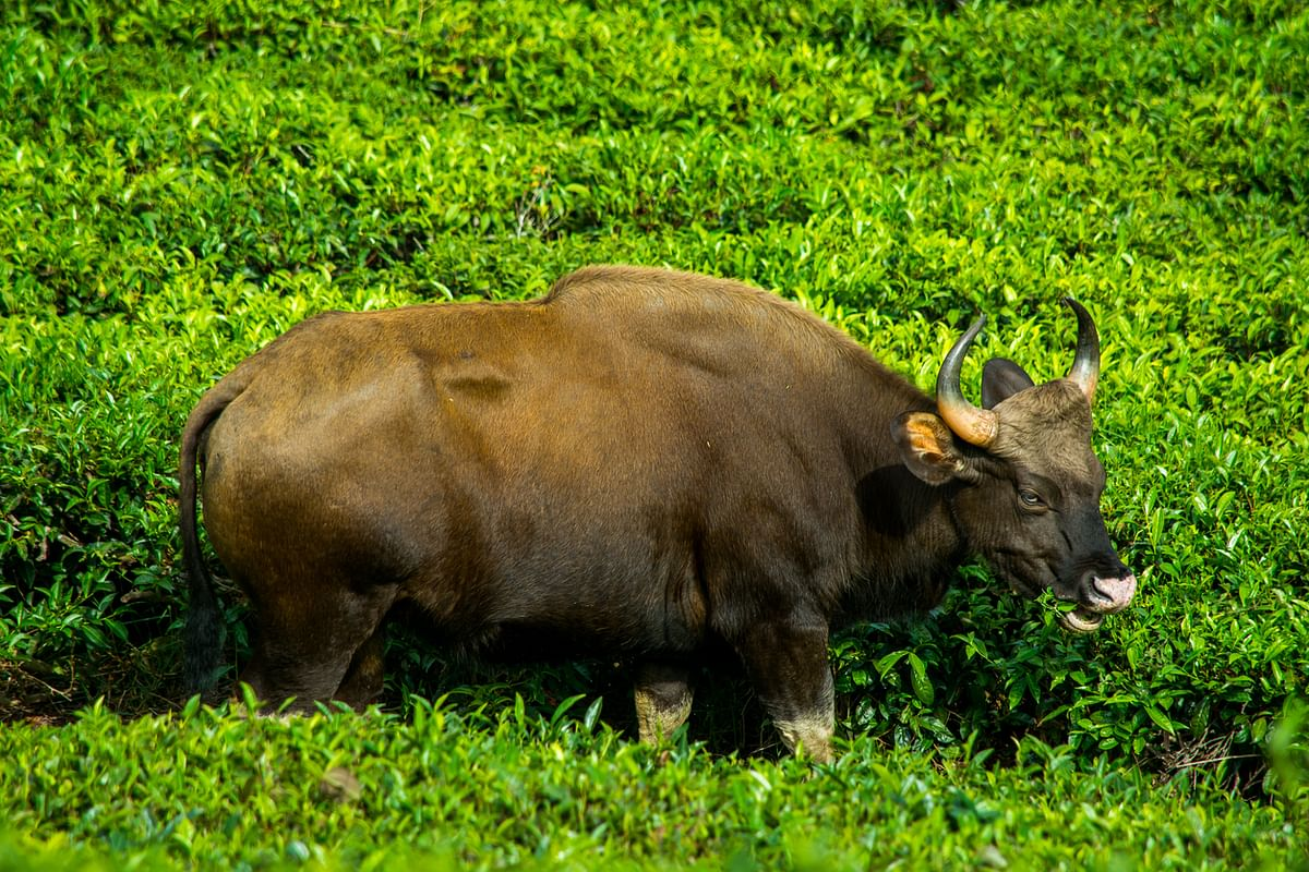 Indian bison is one of the largest herbivores living on the Earth currently.