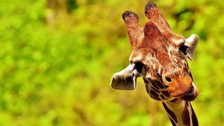 #GoodNews: Meet Gauri, Bengaluru  Biological Park's First Giraffe