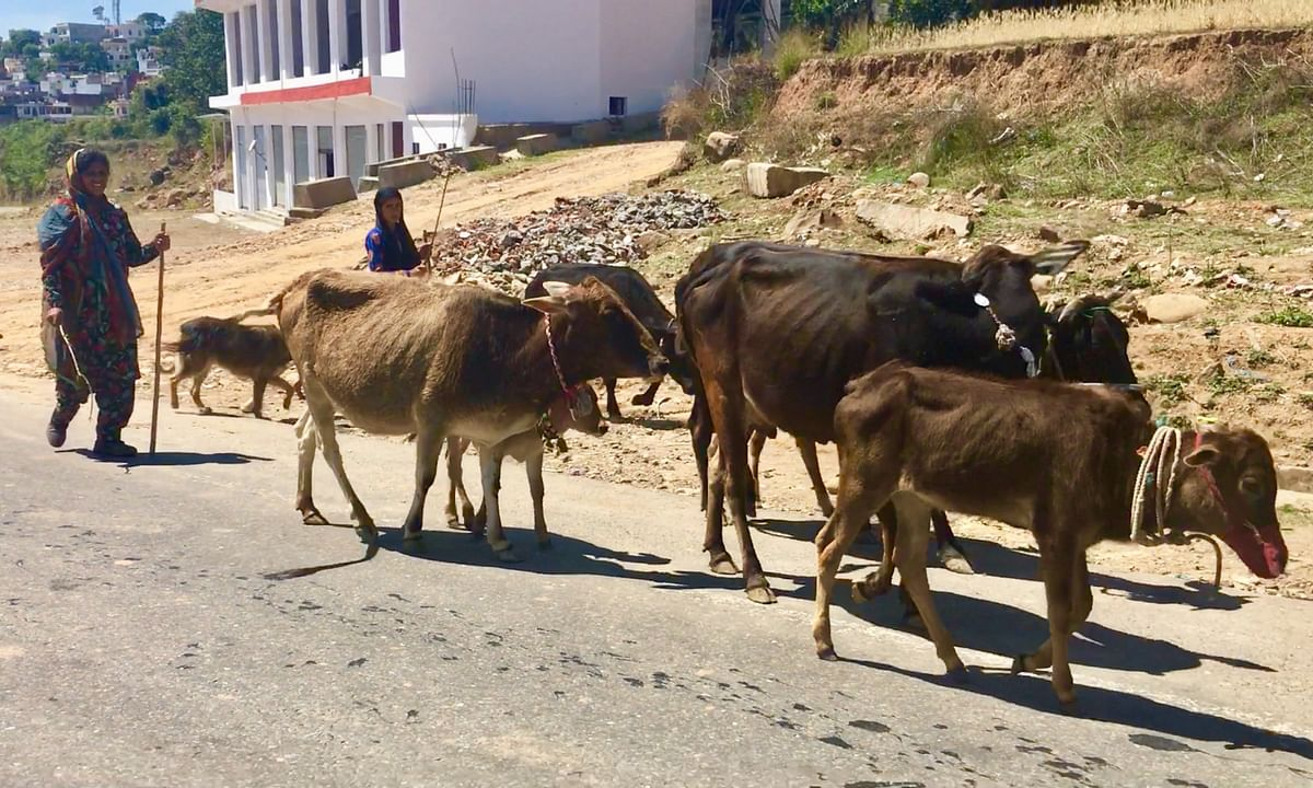The community can be seen on national highways from Jammu towards Udhampur, taking temporary breaks and directing their cattle onwards.