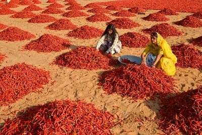 Jodhpur: Village women busy drying red chillies at a field in Jodhpur on Jan 18, 2018. (Photo: IANS)