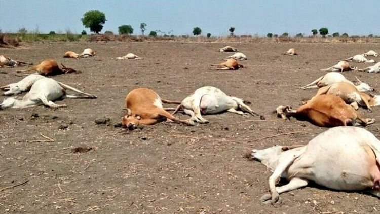 """""""Autopsy report shows cyanide content in the cows' viscera,"""" said Dr Sheikh Bashir, an assistant veterinary surgeon."""