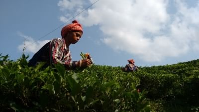 After disastrous 2017, Darjeeling tea planters hope for a better season