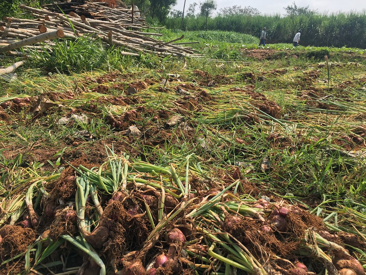 Many farmers say that because they didn't get subsidies from the government, they haven't been able to afford to build storage facilities and godowns and so most of their produce has perished.