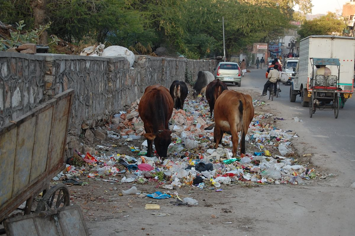 The holy cow is often seen munching away on plastic which is found in heaps scattered across the city.