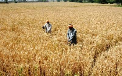 Wheat. (File Photo: IANS)
