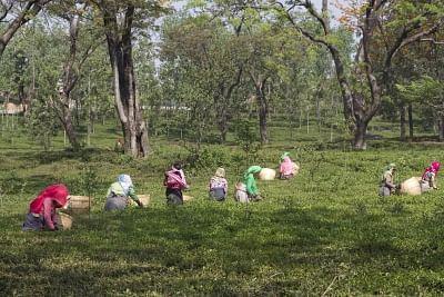 Tea garden. (File Photo: IANS)