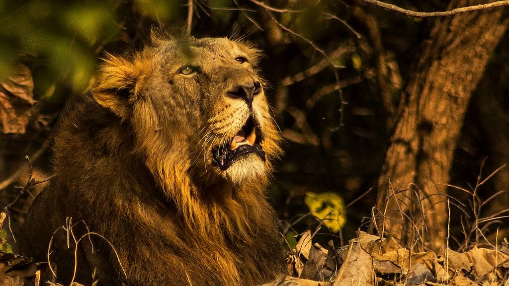 QAhmedabad: 222 Lions Dead in 2 Years; Dry Spell Looms Large