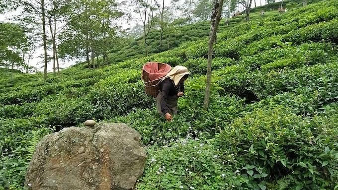 Many tea estates in Darjeeling are increasing canopy cover to minimise the impact of climate change.