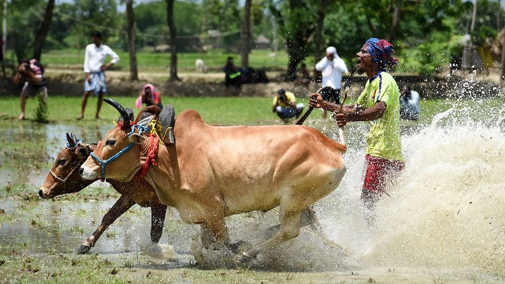 "The village of Herobhanga organises a bullock race, locally referred to as ""Moi-Chhara"", annually."