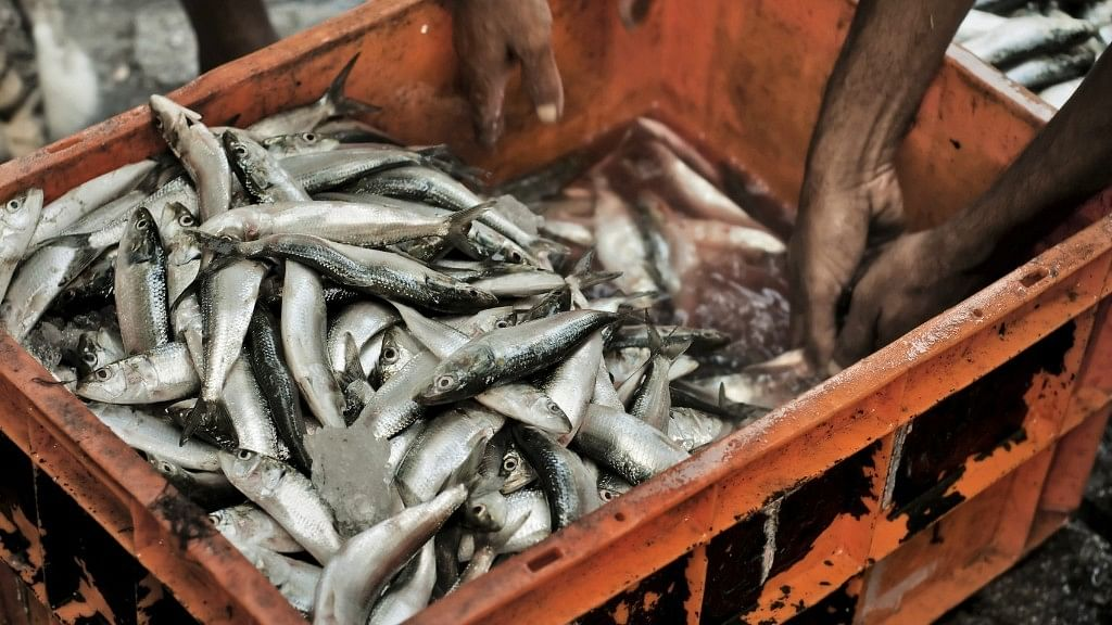 Mumbai Fishermen Get Marine Lottery, Sell Ghol Fish for 5.5 Lakh