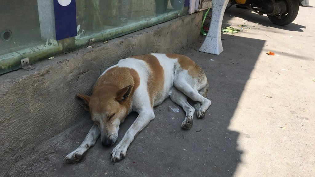 A stray dog snoozes in the shade on Old Airport Road, east Bengaluru.