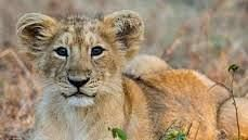 Gujarat Lion Deaths: Govt to Shift Lions From Gir to Barda Dungar